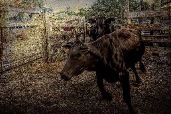 Photograph - Running Steer by Don Columbus