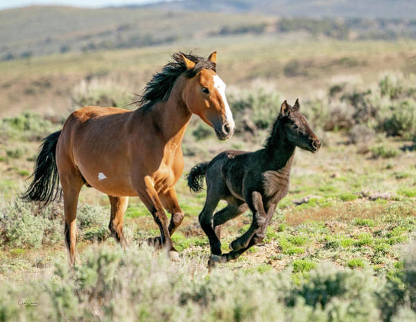 Photograph - Running Wild Mustangs - Mom And Baby by Judi Dressler