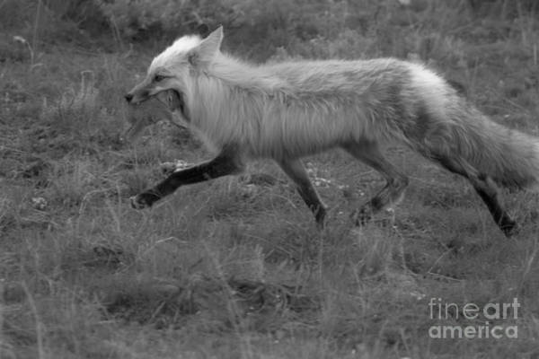 Wall Art - Photograph - Running With A Fresh Catch Black And White by Adam Jewell