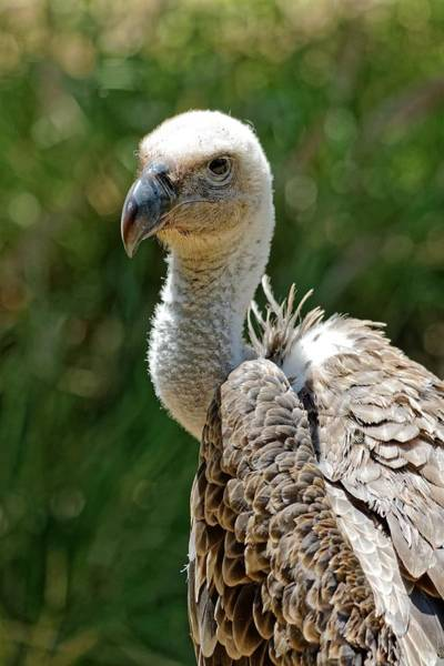 Photograph - Ruppell's Griffon Vulture by KJ Swan