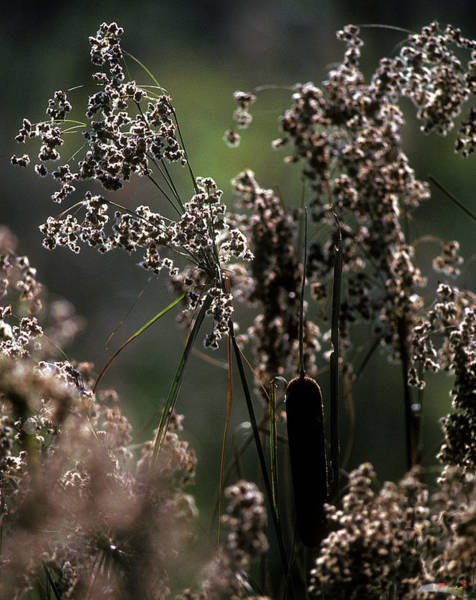 Photograph - Rushes And Cattails 7g by Gerry Gantt
