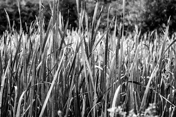 Photograph - Rushes Rain by John Dakin