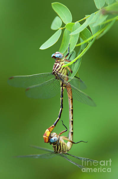 Photograph - Russet-tipped Clubtails Stylurus Plagiatus Wild Texas by Dave Welling