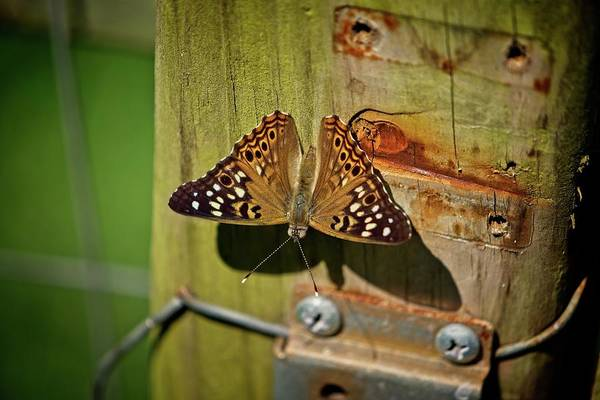 Photograph - Rustic Butterfly by John Benedict