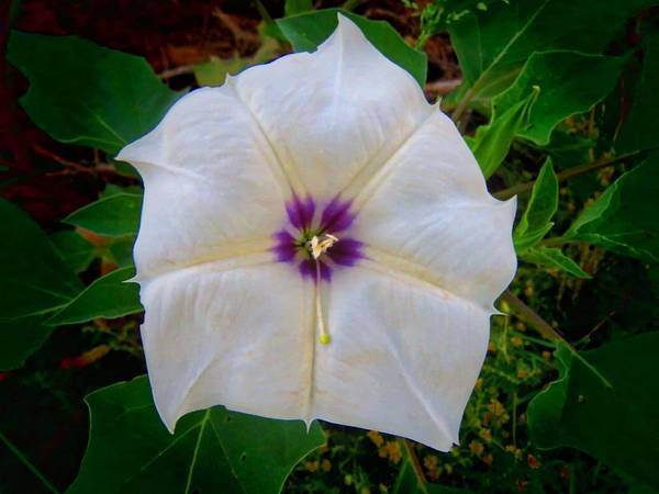 Photograph - Sacred Datura - Full Bloom by Judy Kennedy