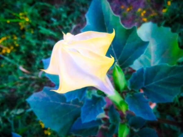 Photograph - Sacred Datura - Partial Bloom by Judy Kennedy