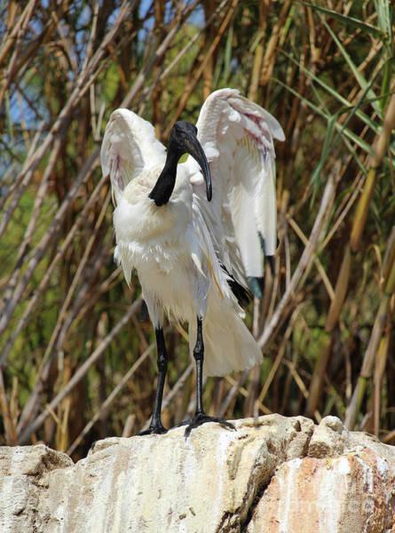 Benidorm Wall Art - Photograph - Sacred Ibis 2 by Eddie Barron