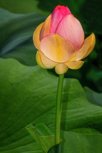 Wall Art - Photograph - Sacred Lotus Bud by Susan Candelario