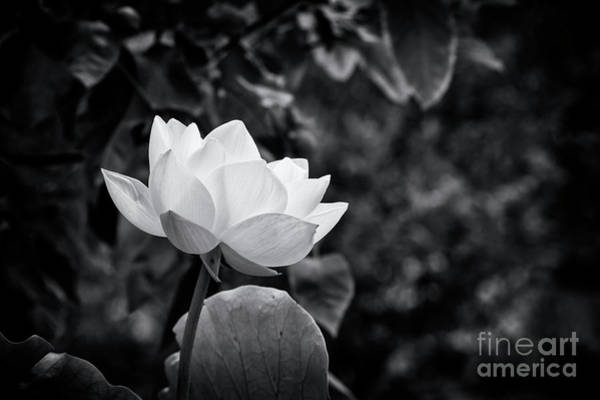 Photograph - Sacred Lotus Monochrome by Tim Gainey
