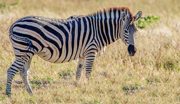 Wall Art - Photograph - Safari Queen Of Chobe by Marcy Wielfaert
