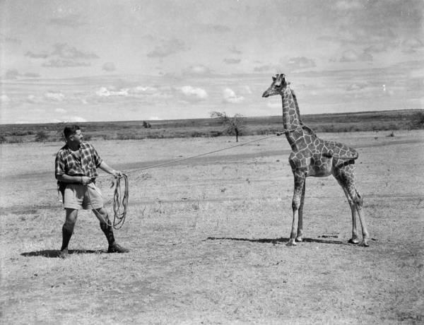 Giraffe Photograph - Safari Park by Maxim Ruston