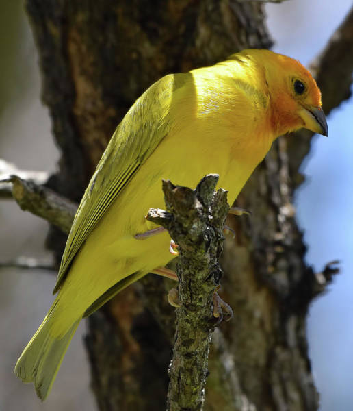 Photograph - Saffron Finch by Pamela Walton