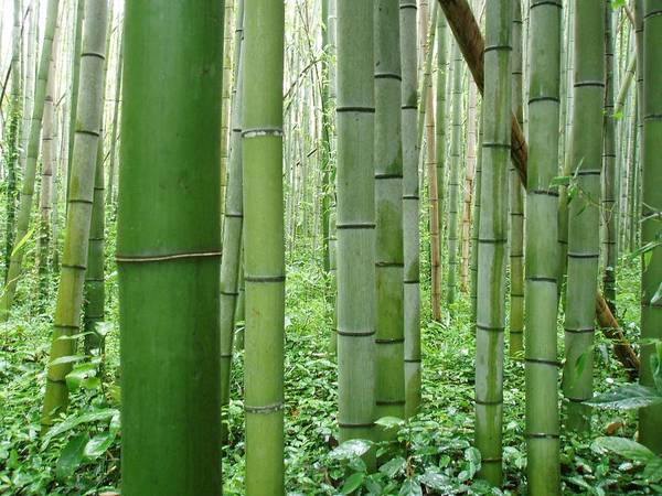 Wall Art - Photograph - Sagano Bamboo Forest by Stephen Ehlers
