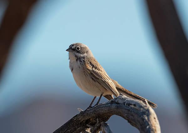 Photograph - Sagebrush Sparrow by Loree Johnson