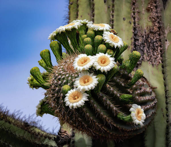 Wall Art - Photograph - Saguaro Abloom  by Saija Lehtonen