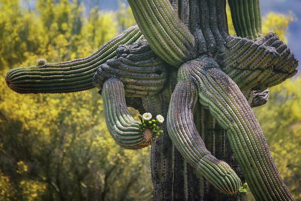 Wall Art - Photograph - Saguaro Arms Open  by Saija Lehtonen