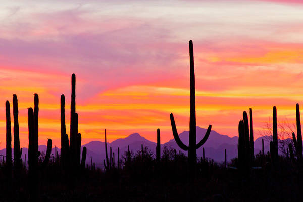 Photograph - Saguaro Cactus And Mountains In by Danita Delimont