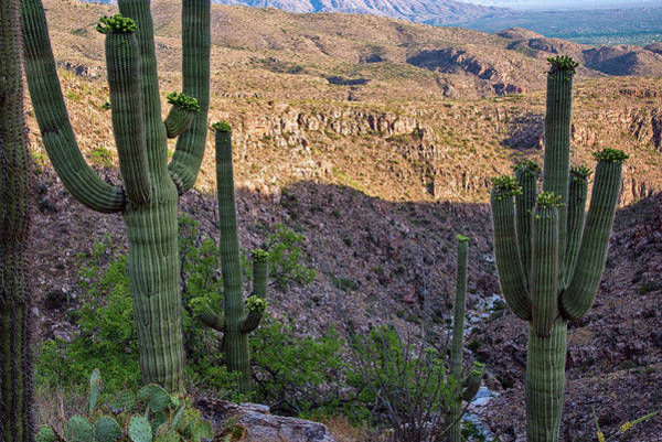 Photograph - Saguaro Cactus Hillside by Dave Dilli