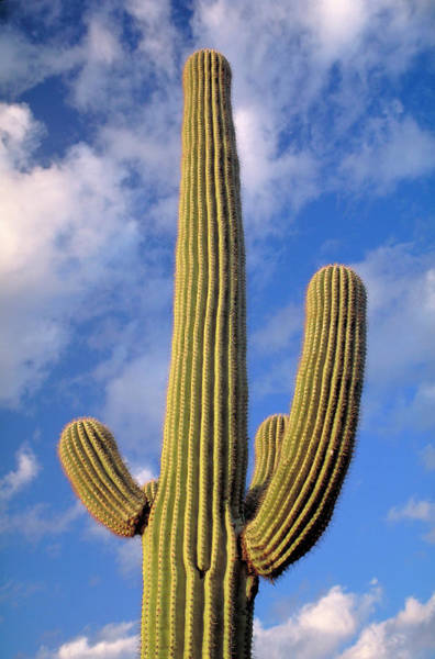 Wall Art - Photograph - Saguaro Cactus, Tucson, Arizona by Myloupe/uig