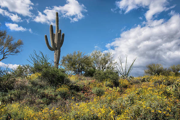 Photograph - Saguaro Cactus With Blooming Yellow Brittlebush by Dave Dilli