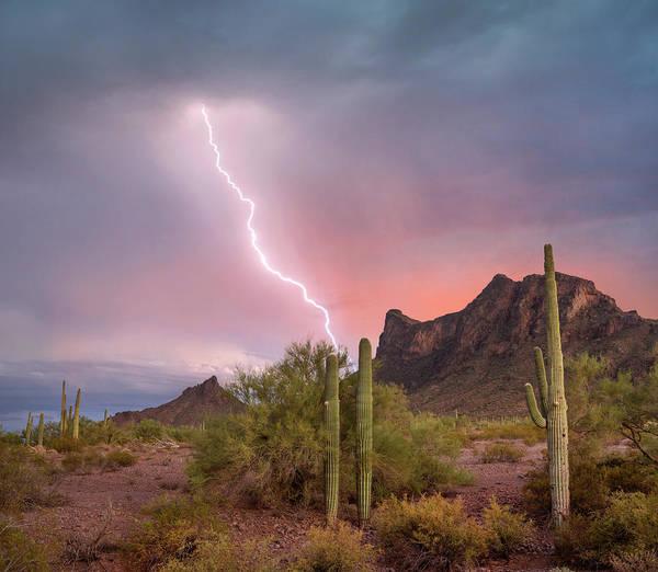 Photograph - Saguaro Carnegiea Gigantea Cacti by