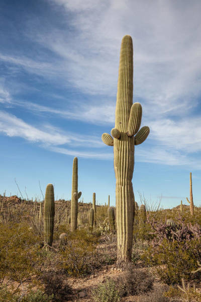 Photograph - Saguaro Evening Sentry by Lon Dittrick
