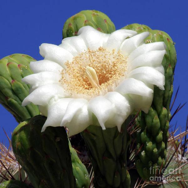 Wall Art - Photograph - Saguaro Flower Squared by Douglas Taylor