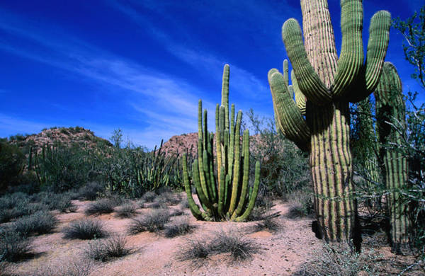 Sonoran Desert Photograph - Saguaro Forest, Organ Pipe Cactus by Lonely Planet