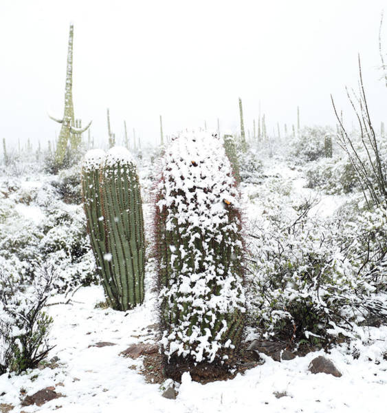 Photograph - Saguaro In The Snow by Jean Clark