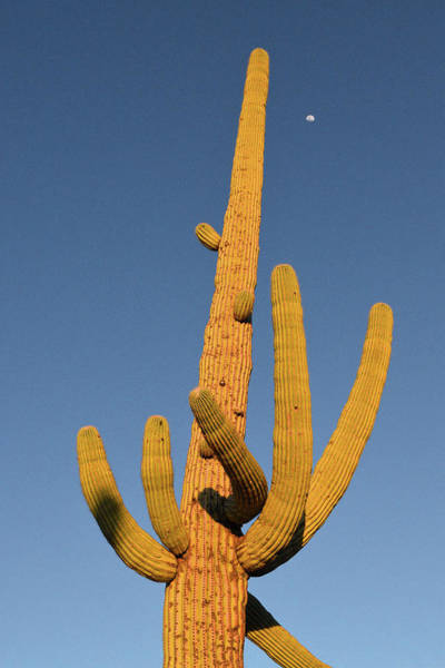 Photograph - Saguaro Moon by Chance Kafka