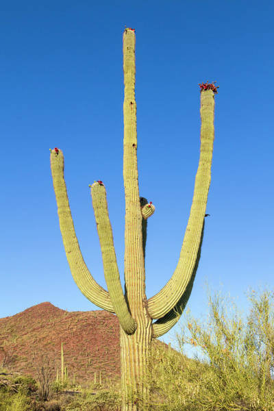 Wall Art - Photograph - Giant Saguaro  by Melanie Viola