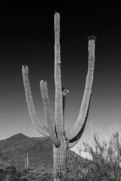 Wall Art - Photograph - Saguaro National Park Giant Saguaro - Monochrome by Melanie Viola