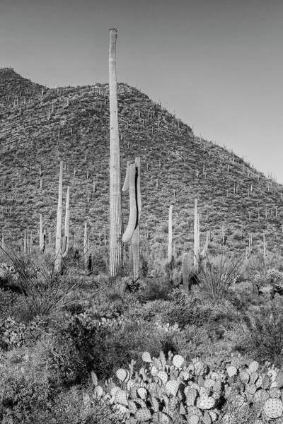 Wall Art - Photograph - Saguaro National Park Scenic Impression - Monochrome by Melanie Viola