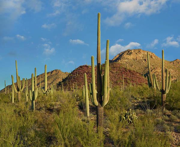 Photograph - Saguaro, Tucson Mts, Saguaro National by