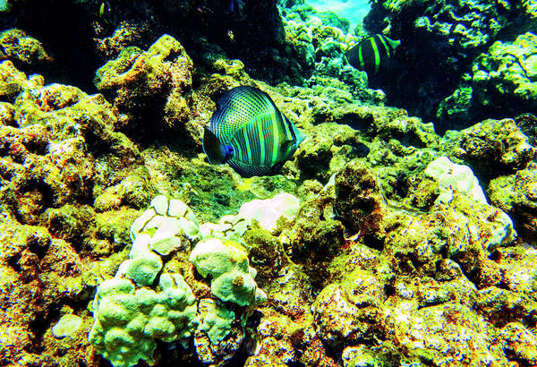 Photograph - Sailfin Tang Honolua Bay by Anthony Jones