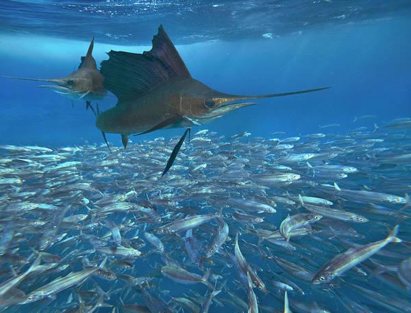 Photograph - Sailfish Hunting Round Sardinella, Isla by