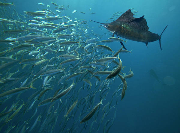 Wall Art - Photograph - Sailfish Hunting Round Sardinella, Isla by Tim Fitzharris