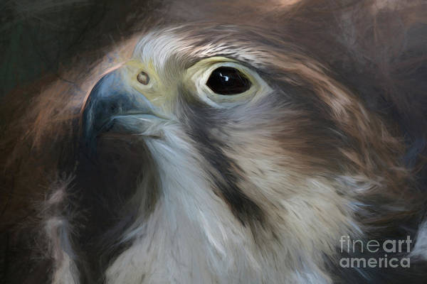 Photograph - Saker Falcon - Art by Sue Harper