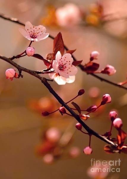 Sakura Flowers Art Print