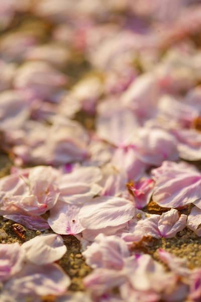 Petal Photograph - Sakura Petal by Photoaraki.com
