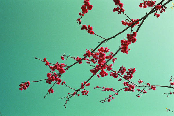 Fragility Photograph - Sakura by Photo By Marcma From Taiwan