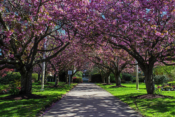 Photograph - Salem State College Cherry Blossom Trees Salem Ma by Toby McGuire