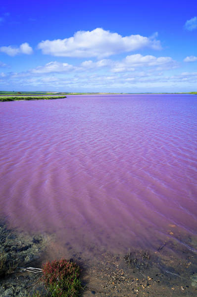 Waters Edge Wall Art - Photograph - Saline Pink Lake Of Coorong, South by Whitworth Images