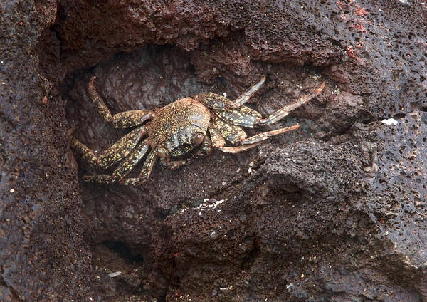 Wall Art - Photograph - Sally Lightfoot Crab, Immature by Michael Lustbader