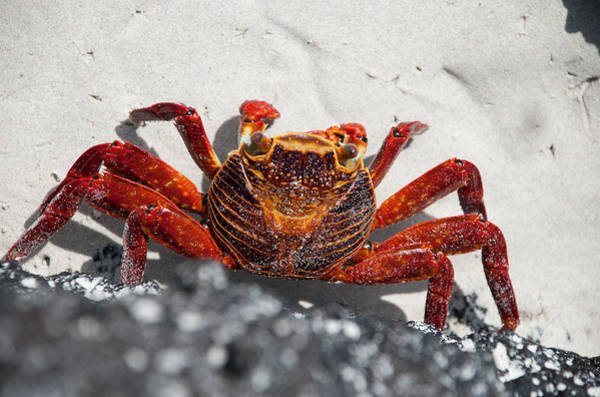 Sascha Wall Art - Photograph - Sally Lightfoot Crab by Sascha Grabow