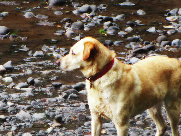 Photograph - Salmon Hunting Dog by Tikvah's Hope
