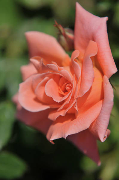 Photograph - Salmon Pink Rose Liverpool Echo by Jenny Rainbow