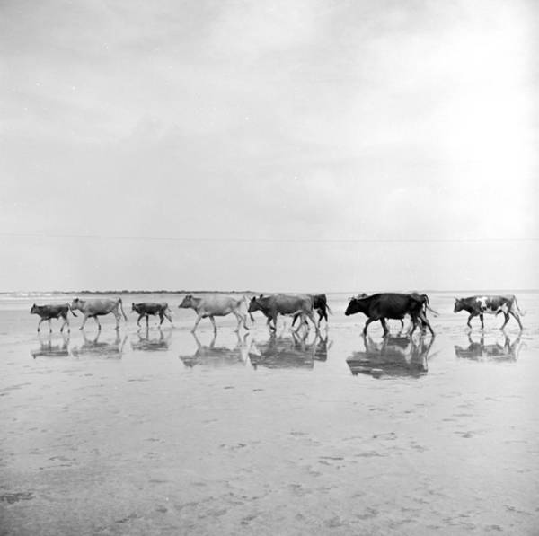 Sea Cow Photograph - Salt Ration by Three Lions