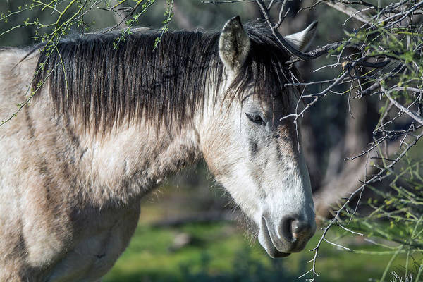 Photograph - Salt River Wild Horse 3737-020119 by Tam Ryan