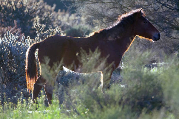 Photograph - Salt River Wild Horse 5146-022619 by Tam Ryan